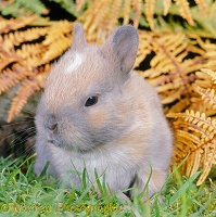 Baby Madagascan Dwarf rabbit among autumn Bracken
