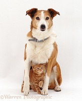 Border Collie with a ginger kitten