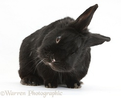 Black rabbit with middle ear infection