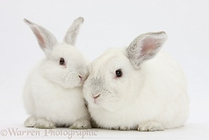 Elderly white rabbit and young white rabbit
