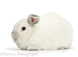 Elderly white rabbit, 8 years old