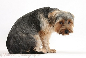 Yorkie dog, looking worried
