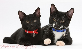 Black and black-and-white tuxedo kittens, with collars