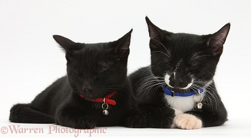 Sleepy Black and black-and-white kittens, with collars