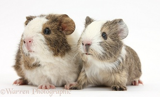 Two young Guinea pigs