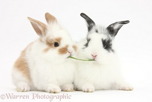 Young rabbits sharing a blade of grass