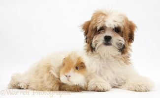 Maltese x Shih tzu pup with Guinea pig