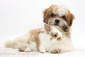 Maltese x Shih tzu pup with rabbit
