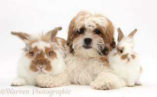 Maltese x Shih tzu pup with rabbits