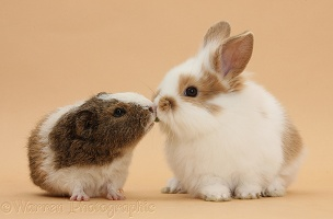 Baby rabbit and Guinea pig 'kissing' on beige background