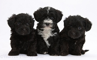 Three Yorkipoo pups