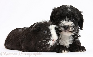 Yorkipoo pup and Guinea pig
