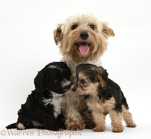 Yorkie mother and Yorkipoo pups