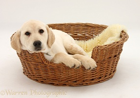 Yellow Labrador pup lying in a wicker basket dog bed