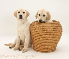 Yellow Labrador Retriever pups in straw basket