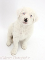 Mostly white Border Collie pup, sitting looking up