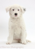 Mostly white Border Collie pup, sitting