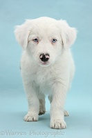 Mostly white Border Collie pup, on blue background