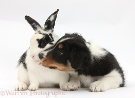 Tricolour Border Collie pup with black-and-white rabbit