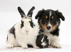 Tricolour Border Collie pup with rabbit and Guinea pig