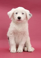 Mostly white Border Collie pup, sitting on pink background