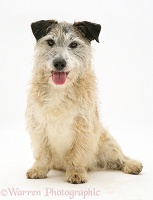Terrier-cross sitting