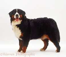 Bernese Mountain Dog bitch, 10 months old, standing