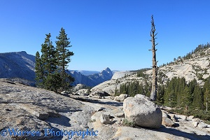 Whitebark Pine trees and granite boulders