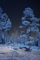 Ponderosa Pine trees in near infrared