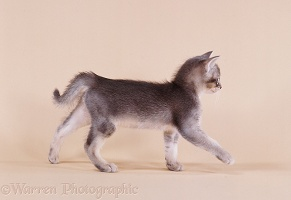 Ticked-silver kitten, walking across