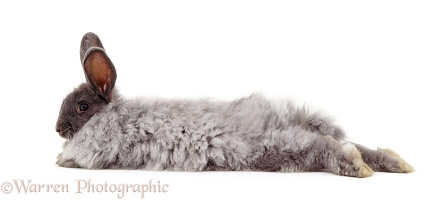 Blue Angora-cross rabbit lying stretched out
