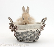 Lionhead-cross rabbit in a basket