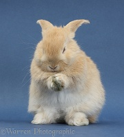 Young sandy rabbit grooming on blue background