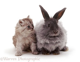 Smoke Persian-cross kitten with blue Angora-cross rabbit