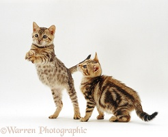 Playful Bengal kittens