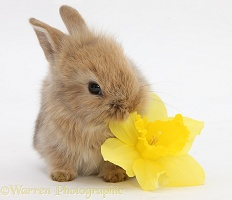 Baby Lionhead-cross rabbit eating a daffodil flower