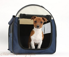 Jackahuahua pup in a dog carrier bag