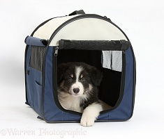 Tricolour Border Collie pup in a dog carrier bag