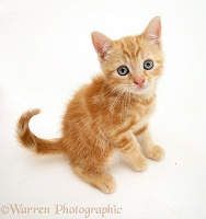 Ginger kitten looking up