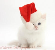 White Maine Coon-cross kitten wearing a Santa hat