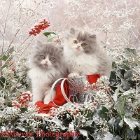 Persian kittens among snowy holly