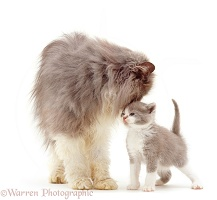 Persian cat with kitten