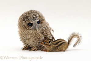 Chipmunk and Owlet