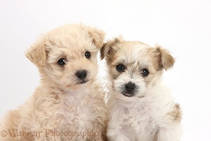 Two cute Bichon x Yorkie pups