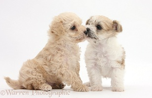 Bichon x Yorkie pups, kissing