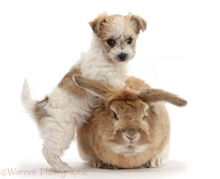 Cute Bichon x Yorkie pup and rabbit