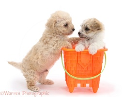 Cute Bichon x Yorkie pups playing with a bucket