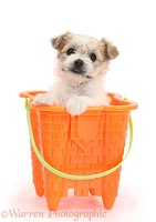 Cute Bichon x Yorkie pup in a bucket