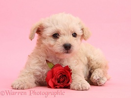 Cute Valentine puppy with rose on pink background