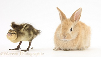 Duckling pooing at young sandy rabbit